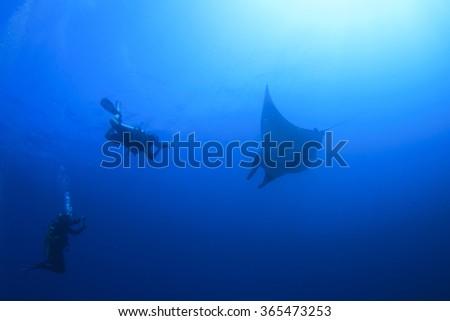 Manta Ray and scuba divers diving - stock photo