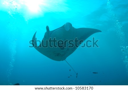 manta ray and sun - stock photo