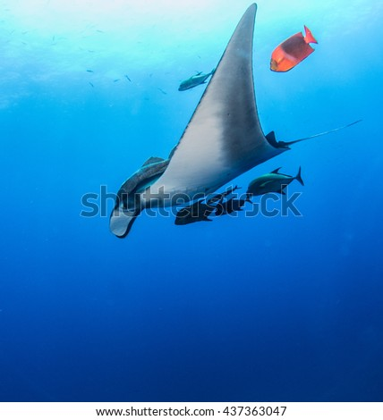 Manta Ray at Islas Revillagigedos - stock photo