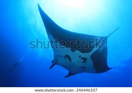 Manta ray at Socorro Island, Mexico - stock photo