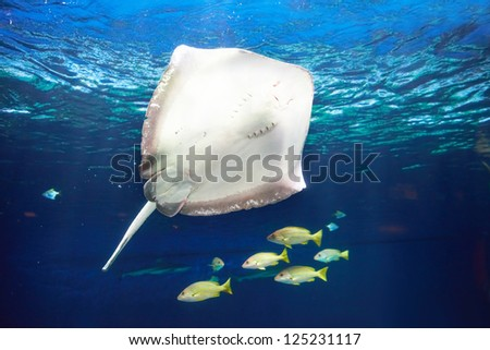 Manta ray floating underwater near coral reef - stock photo