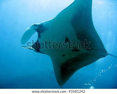 Manta Ray From Underneath, Koh Bon, Thailand - stock photo