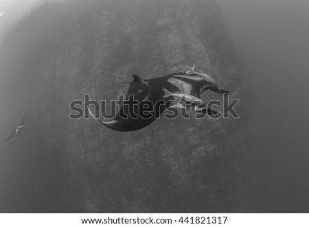 Manta Ray in Black and White - stock photo