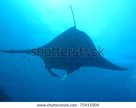 Manta ray - Maldive - stock photo