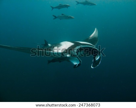 Manta ray, manta birostris flying by to check me out. - stock photo