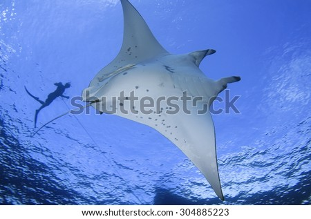 MANTA RAY SWIMMING CLOSE TO SURFACE WITH FREE DIVER - stock photo
