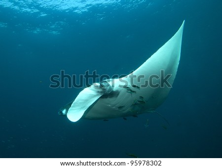 Manta Ray Thailand - stock photo