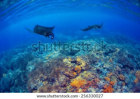 Manta rays filter feeding above a coral reef in the blue Komodo waters - stock photo