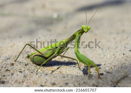 Mantis religiosa, referred to as the European mantis outside of Europe and known simply as the praying mantis in Europe and elsewhere, is one of the most well-known. Surprise and interest, curiosity - stock photo