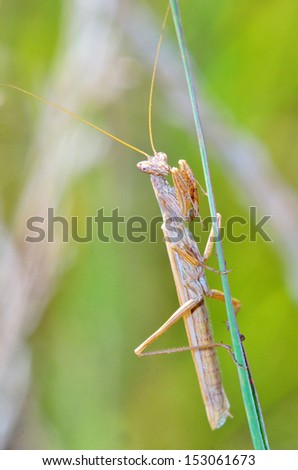 Mantis religiosa shoot in forest - stock photo