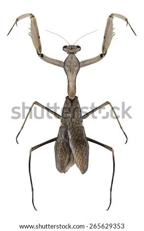 Mantis Sphodromantis viridis on a white background - stock photo