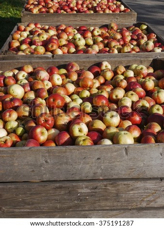 many apples in wooden boxes - stock photo