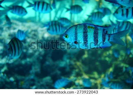 Many beautiful blue fishes in the sea - stock photo