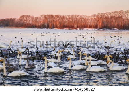 Many beautiful swans on the lake. - stock photo