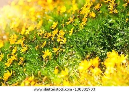 Many beautiful yellow wildflowers in morning sunlight - stock photo