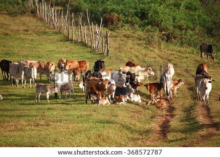 Many cattle pastures - stock photo