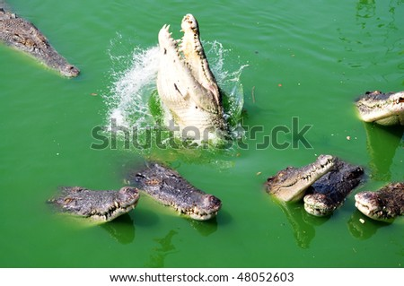 Many Crocodile in the green river water - stock photo