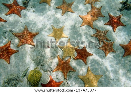 Many Cushion starfish underwater on sandy ocean floor, Atlantic, Bahamas islands - stock photo