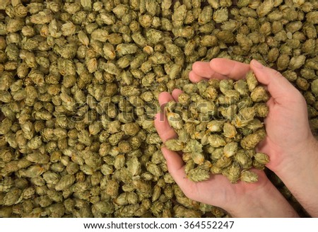 many dried hops for beer and brewery - stock photo