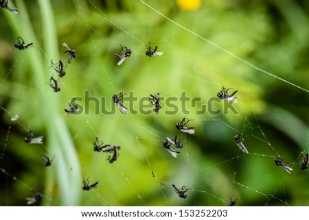 Many flies captured in a spiderweb - stock photo