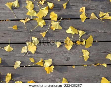 Many golden Ginkgo biloba leaves on rough wooden slats. Clinical trials have shown Ginkgo to be effective in treating dementia. - stock photo