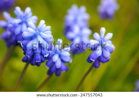 Many Grape Hyacinth or Muscari Latifolium botryoides flower bulbs blooming blue in spring - stock photo