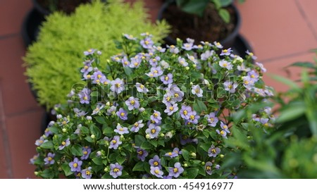 Many little plants with green, white and purple flowers in the black and brown flowerpots. - stock photo