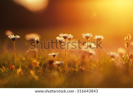 many meadow chamomile on sunny background in autumn field - stock photo