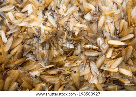 many of brown winged termite (alates) on ground. - stock photo
