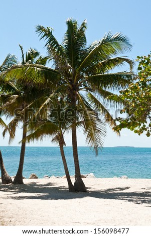 Many Palm trees in the beach of Key West, Florida with the ocean in front of them. - stock photo