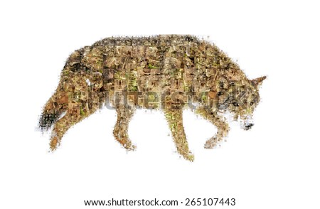 Many photographs of wolf, forms an image of the wolf - stock photo