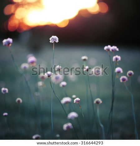 many pink meadow wild flowers on green on field background. Fresh autumn evening. Nature background - stock photo