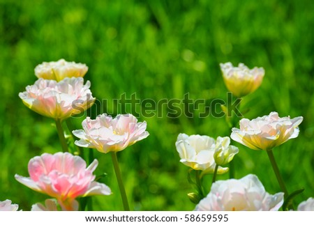 Many pink tulips - stock photo