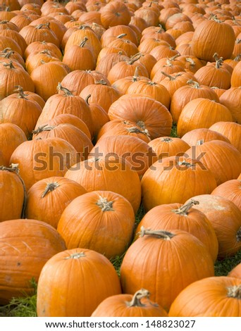 Many pumpkins in a large patch - stock photo