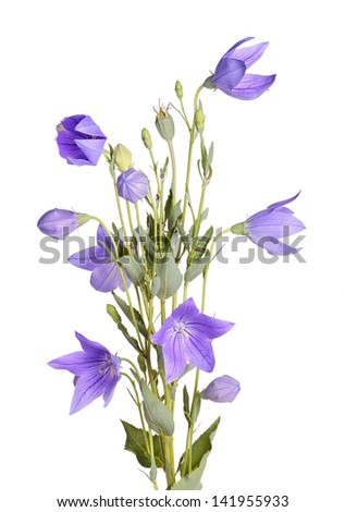Many purple flowers, buds and leaves of balloon flower or bellflower (Platycodon grandiflorus) isolated against a white background - stock photo