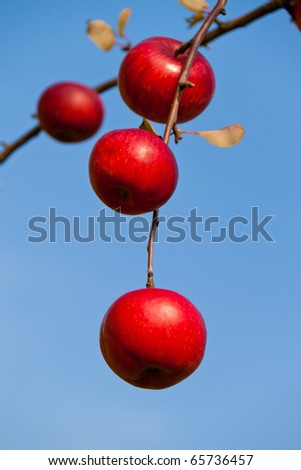 Many red apples on tree in autumn. Branch of an apple tree - stock photo