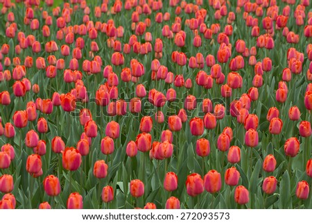 Many red colored tulip flowers background. Beautiful red tulips flower field details. Selective focus used. - stock photo
