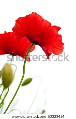 many red poppies isolated on a white background angle of a page - stock photo