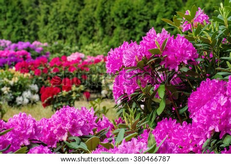 many Rhododendron plants in spring - stock photo