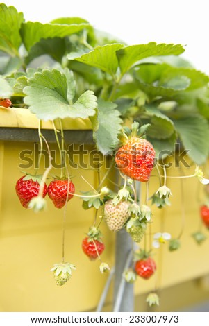 Many ripe strawberries in pot - stock photo