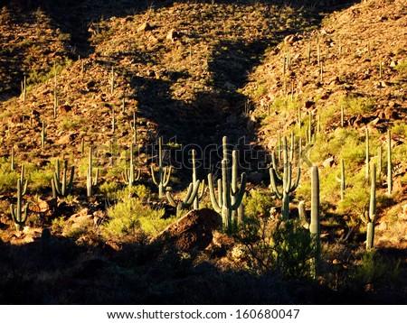 Many Saguaro cactus on mountainside in desert southwest - stock photo