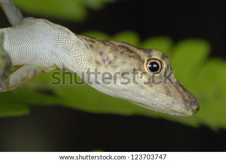 Many-scaled Anole (Norops polylepis) in Costa Rica rainforest - stock photo