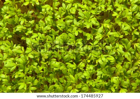 Many small green sprout herbs  - stock photo