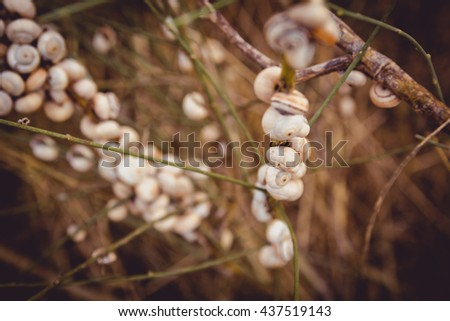 Many snails attached to a branch at sunset in Israel. - stock photo