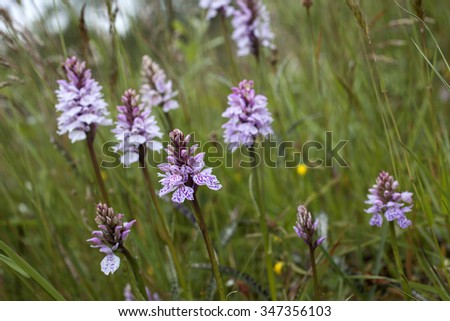 Many spotted orchids (Dactylorhiza) growing among low vegetation at wet meadow in Norway. - stock photo