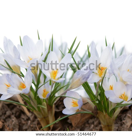many white crocuses with white background above - stock photo