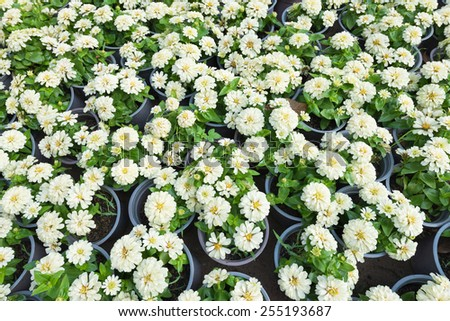 many white flowers in pots, top view - stock photo