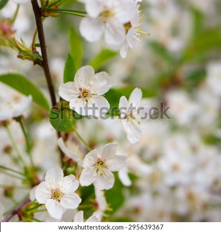Many white flowers on branch - stock photo