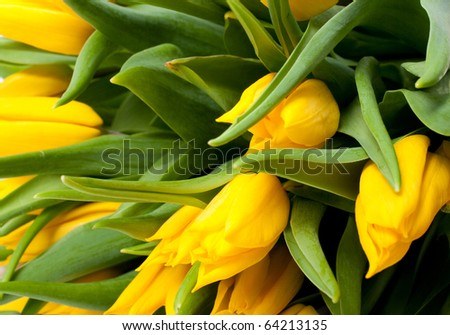 many white tulips closeup. macro - stock photo