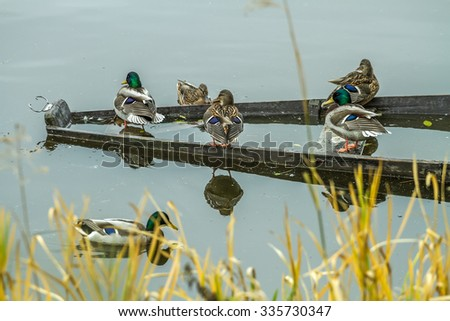 many Wild ducks - stock photo